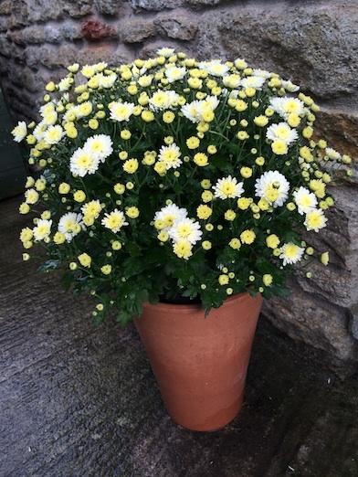 Lidl hardy chrysanth