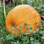 Pumpkin soup - pumpkin